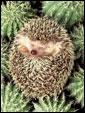 Маленький ежик вполне комфортно отдыхает посреди зеленных кактусов.